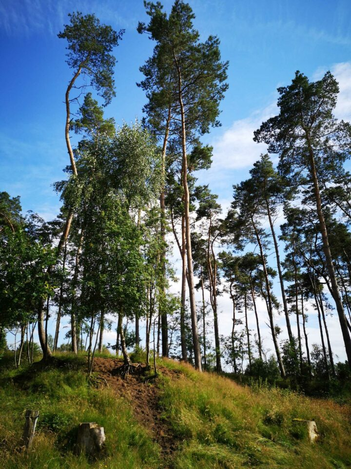 Waldrandgestaltug vor Nadelwald im Havekoster Sand